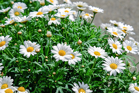Quotes about daisy