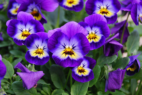 Birth Flower of February - Violets