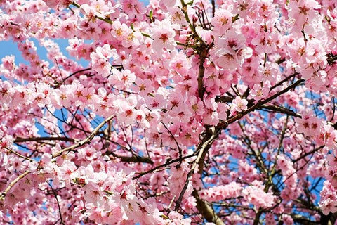 Cherry Blossoms Quotes