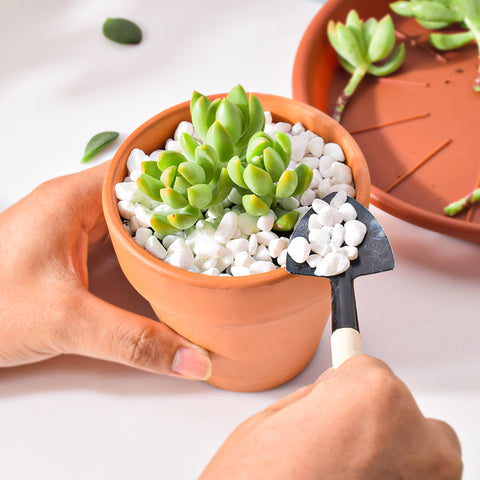 add-white-pebbles-at-the-top-of-one-containter-plant-as-top-dressing