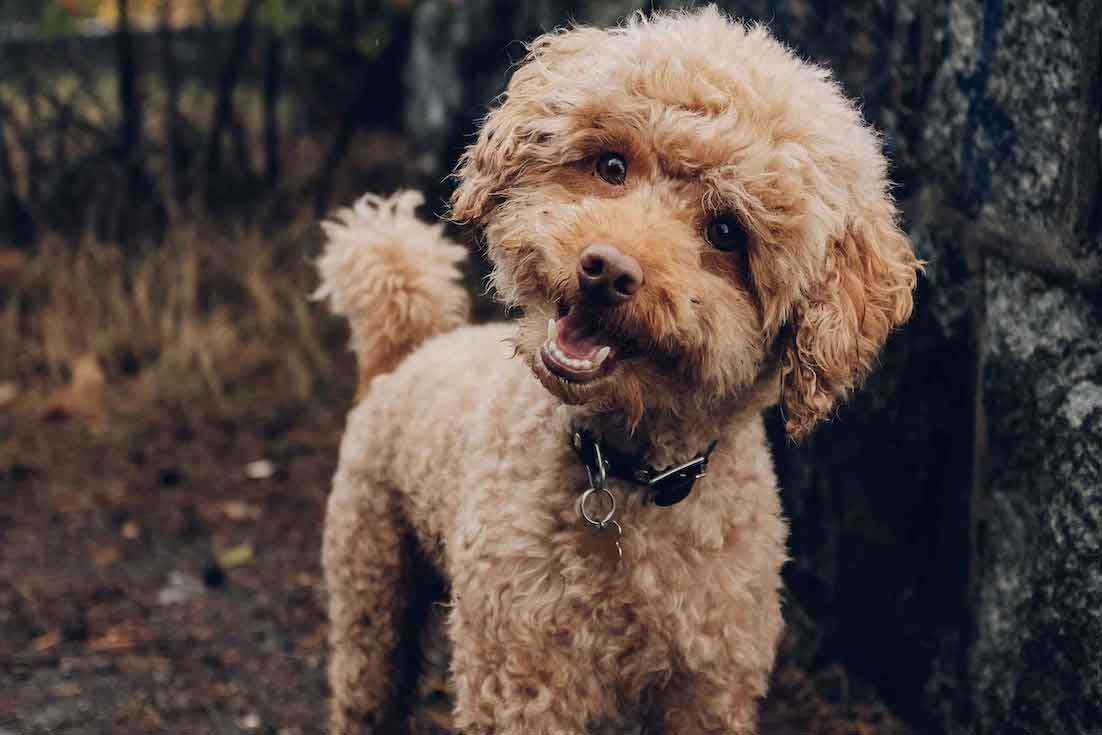 Goldendoodle-with-tag