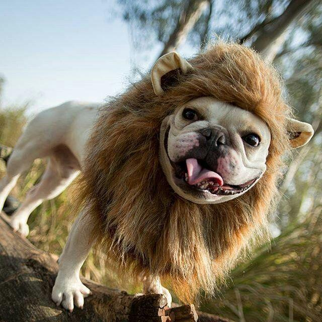 Dog Halloween Lion Costume for Pugs Frenchies