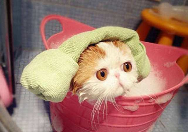 Bathing A Cat: 10 Survival Tips
