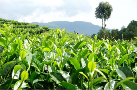 What Benefits Of Green Tea For Health And The Best Green Teas