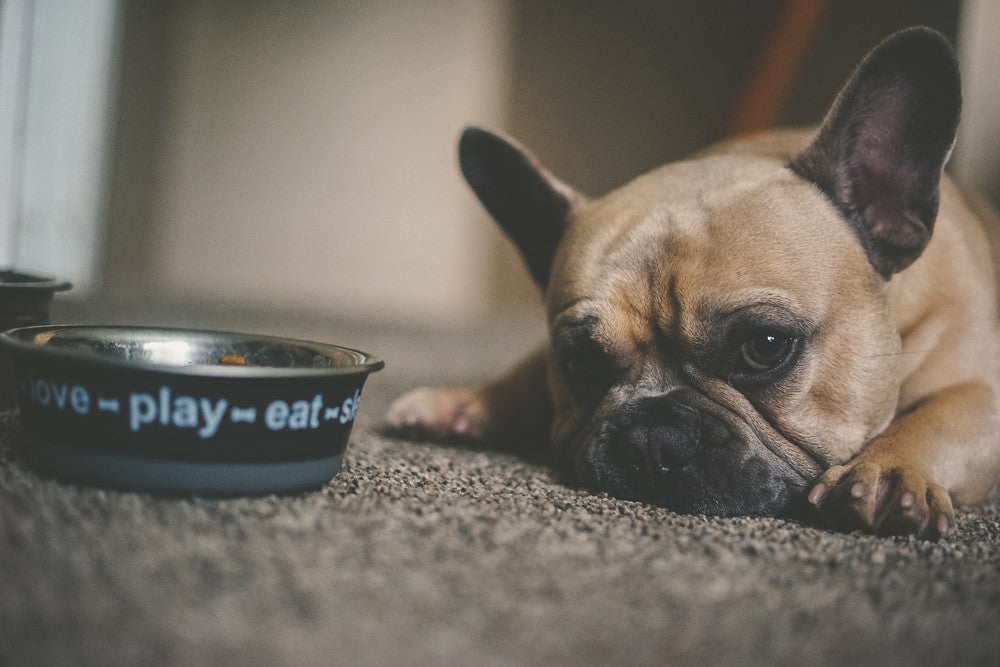 How Long Can a Dog Go Without Eating?