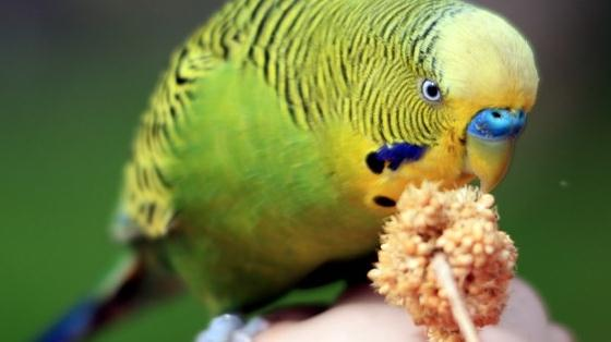 feed parrot millet spray