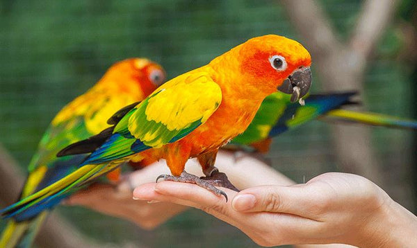 parrot hand training