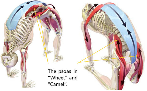 the psoas in wheel and camel pose