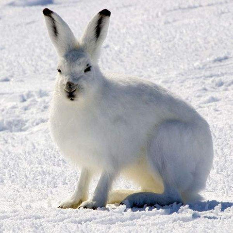 Long-legged rabbits living in the Arctic - Arctic hare