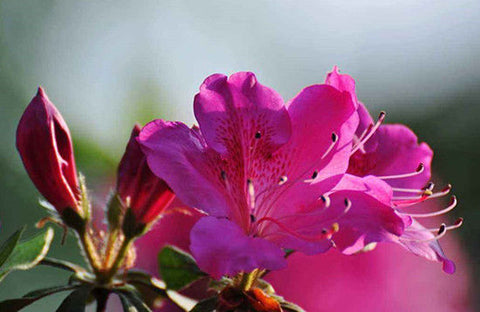 China Flower - Rhododendron
