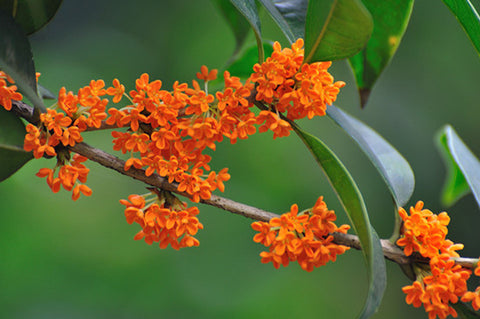 China Flower - scented osmanthus